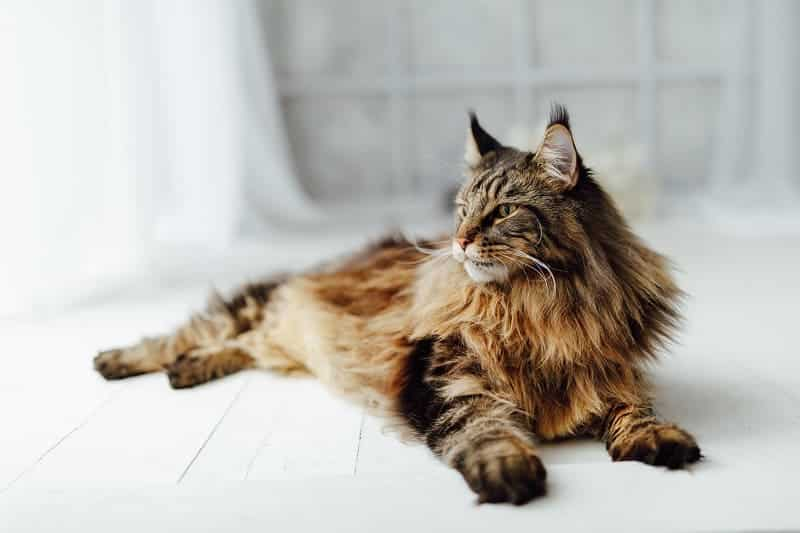 What Makes a Maine Coon Cat Breed So Different